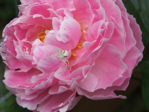 Peppermint - looking spider on a peony.