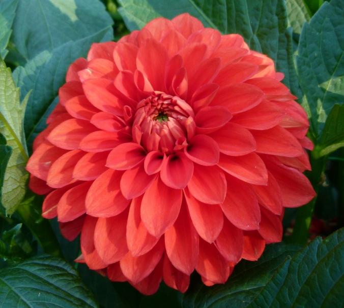 Dahlia_concours_international_2012_Parc_Floral_3