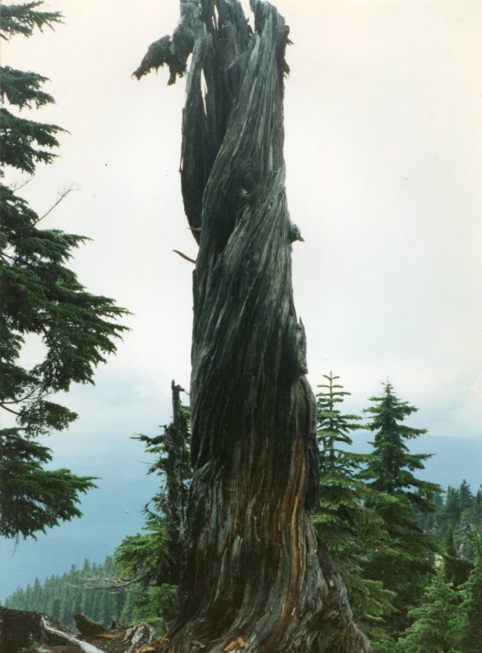 tree on Mt Pilchuck