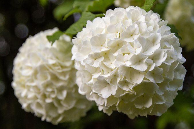 Snowball_flowers_(13985050634)